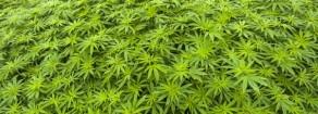 Cannabis terapeutica: intervista a Maurizio Acerbo dopo sequestro piante di Rita Bernardini